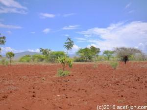 この半乾燥地で植えた木がぐんぐん育ちますように。