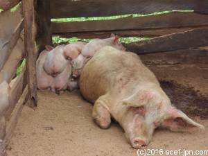 先月生まれた子豚たち。おしりがキュート!